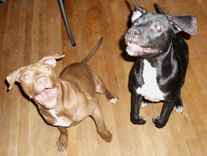 One brown pit mix puppy and one black pit mix puppy with huge smiles jumping at the camera.