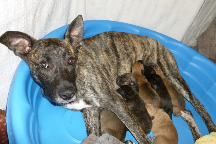 A stray shepherd mix dog is lying in a kiddie pool with her litter of nine puppies.