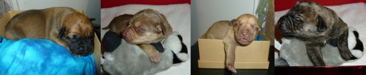 Four separate images of 6-day-old puppies in boxes, edited together into one image.